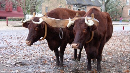 Working team of oxen.